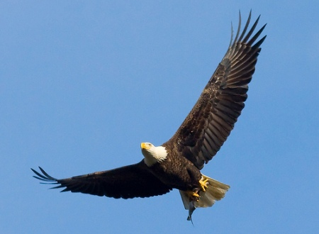 Bald Eagle by U.S. Fish and Wildlife Service - Northeast Region