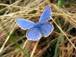 Blue Adonis  Photo by Tom Hickmore