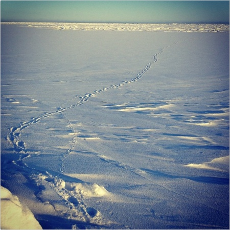 Polar bear tracks crisscrossed by Arctic fox on sea ice, Barrow, Alaska. Photo by NOAA's National Ocean Service