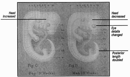 Haeckel's doctored drawings of dog and human embryos as they appeared in his book The History of Creation Photo from Creation.com